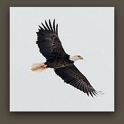 Eagle full flight II
