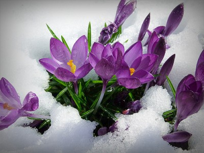 crocus in snow medium_8558290637