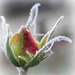 frozen rosebud II