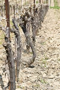 Vine in dry ground photo